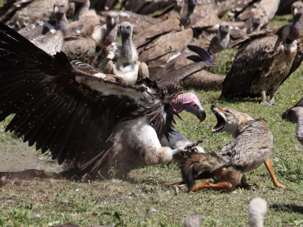 Lappetfaced Vulture atacking Golden Jackal